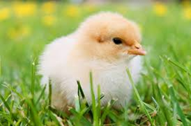 Kurczak 17.png